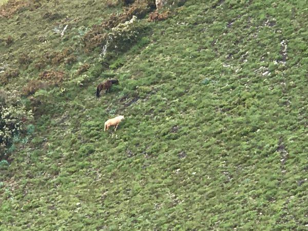 Wild Asturian Horses