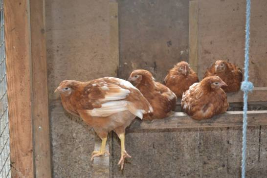 Chickens at Sacrewell farm