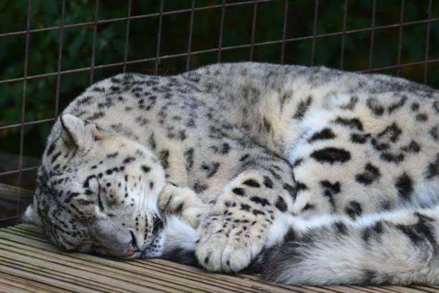 Snow Leopard at Paradise Wildlife Park