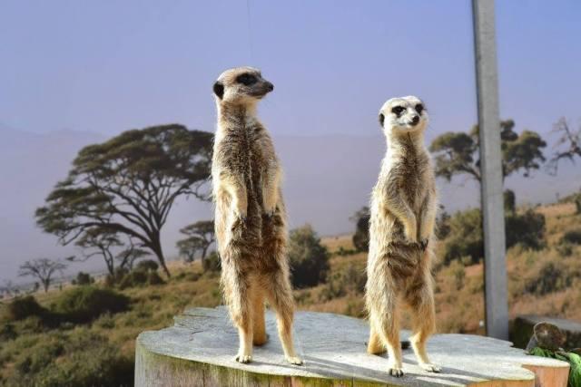 Meerkats at Paradise Wildlife Park