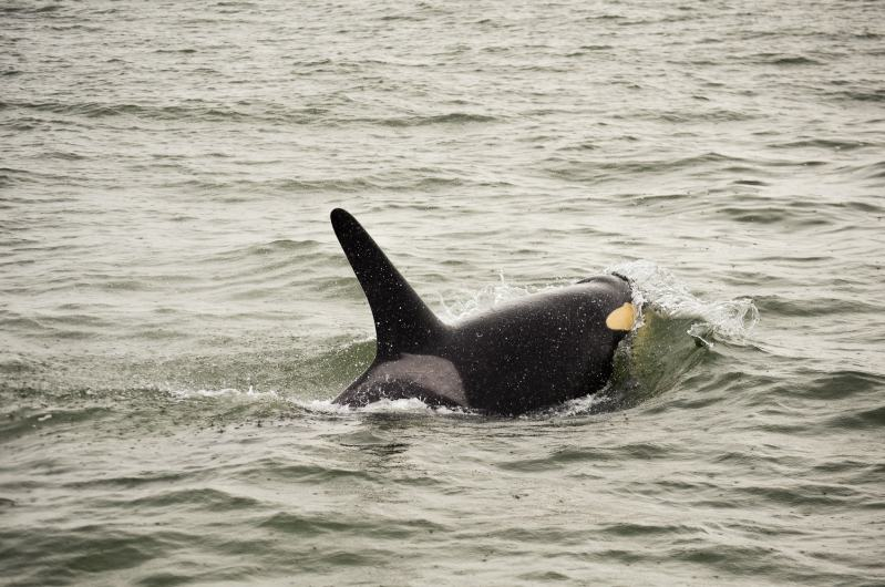 orcas in vancouver