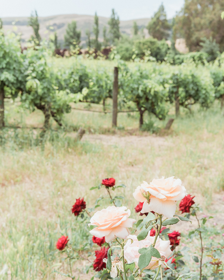 Sonoma Winery Cline Cellars Roses