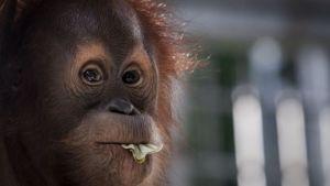 Palmiye yağı orangutan