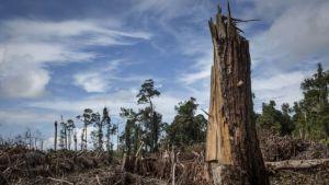 Palmiye yağı için kesilen ağaçlar