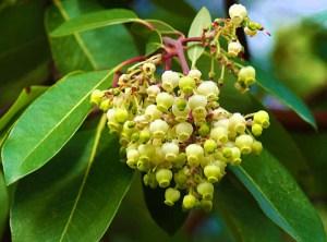 Bitkisel yağlar sandal ağacı yağı