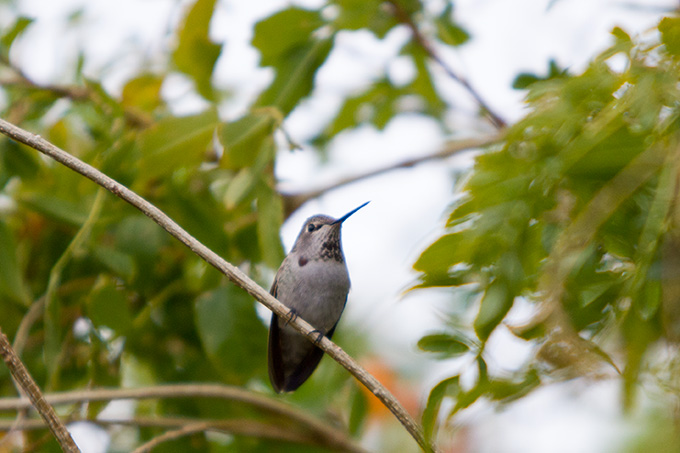 Grey hummingbird on a branch
