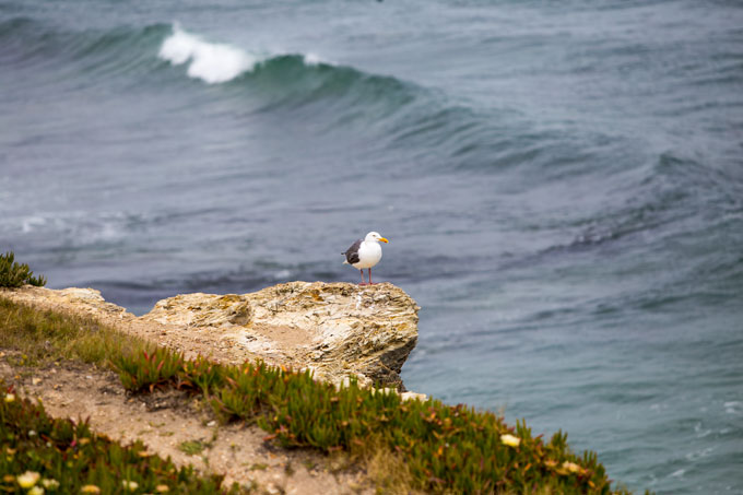 Northern California sea gull in Santa Cruz