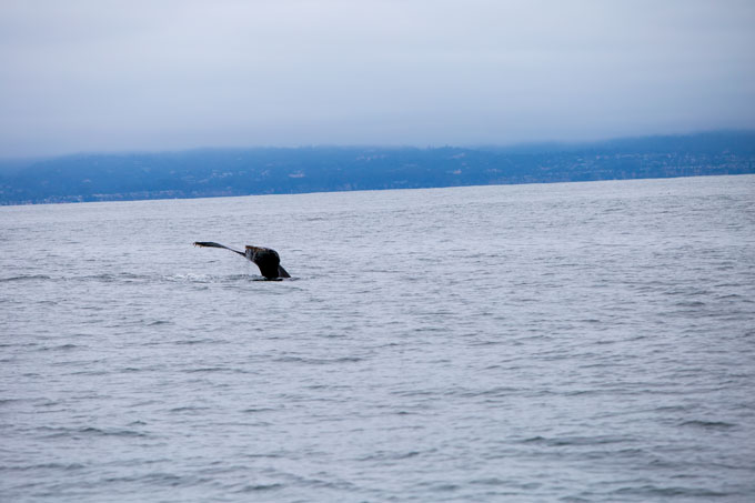 Northern California whale fluke in Monterrey Bay