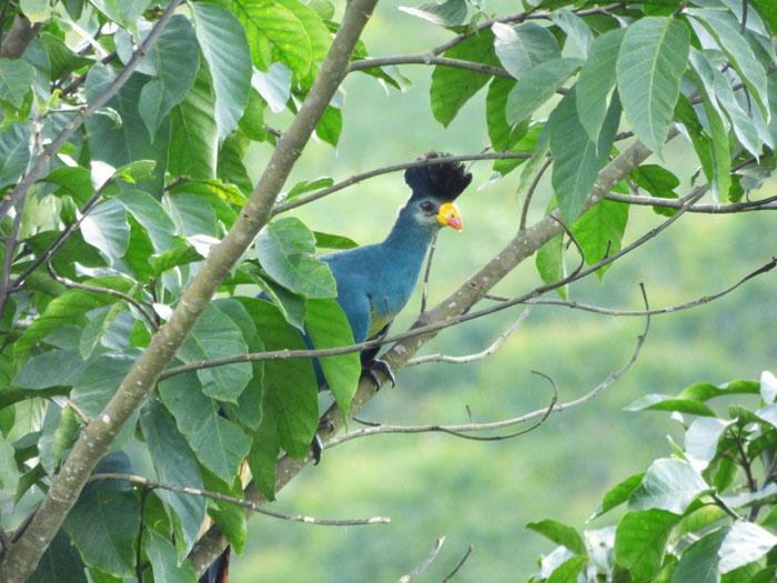 Great Blue Turaco, Sunbird Hill, Kibale Forest. Charlotte Beauvoisin