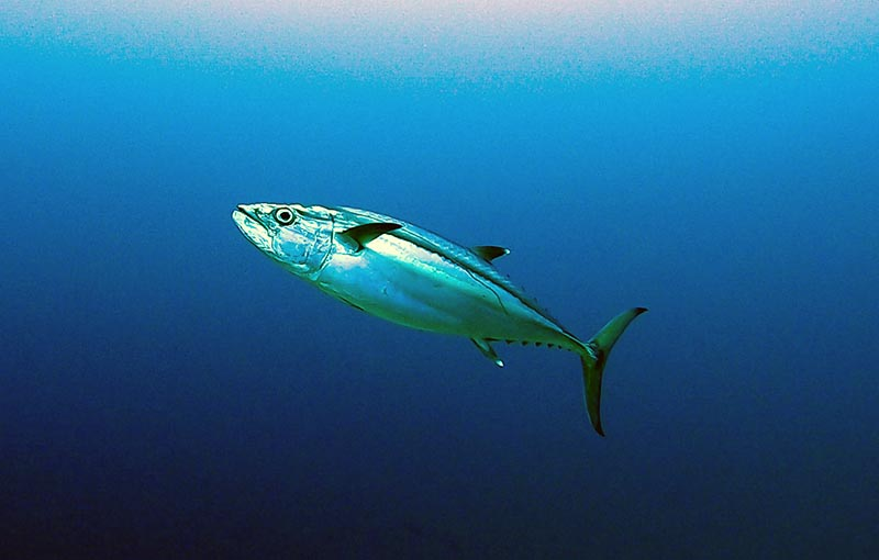 Tuna Diving Thailand