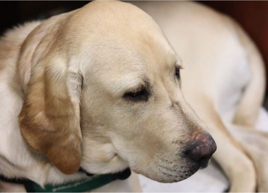 Paws in hand, Johnson raises guide dogs