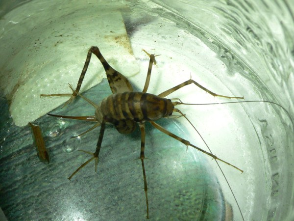 cave spider cricket