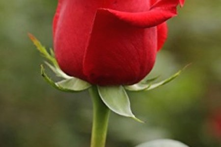 Red Rose HD Images and Wallpapers  1080p   Android iPhone iPad HD     Red Rose HD Images and Wallpapers  1080p    rose red rose flower