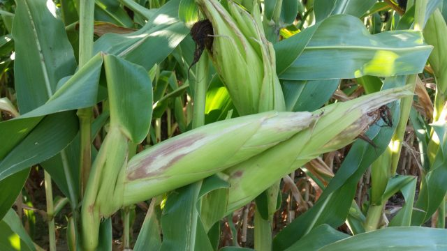 summer in long island- corn1