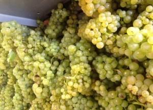 Champagne Stéphane Coquillette, Chardonnay harvest