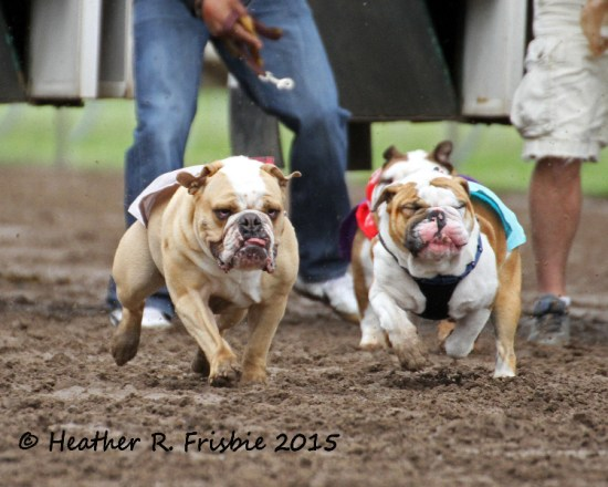 A pair tear off toward the finish line in a Running of the Bulldogs heat.