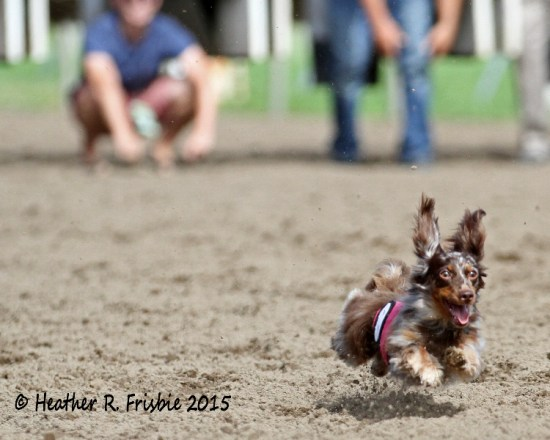 Another flying Dachshund as anxious owners look on at the start.