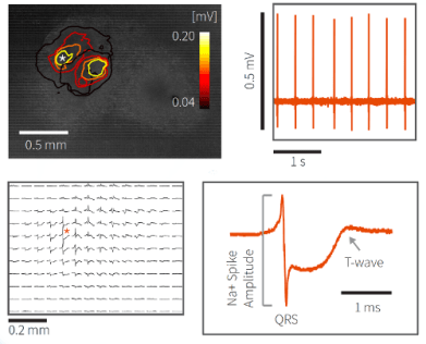 Detect electrical activity in differentiated cardiomyocytes