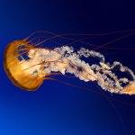 Méduse à observer lors d'une plongée à Lège Cap Ferret
