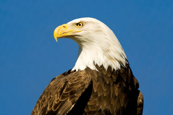 Image result for bald eagle