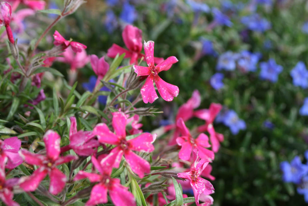 Pink star flowers