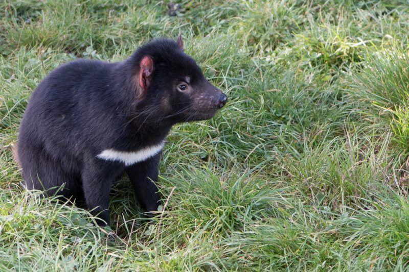 Tasmania wildlife
