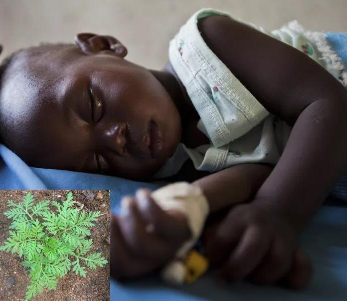 RDC / Artémisia, la solution contre le paludisme découverte par Dr Munyangi