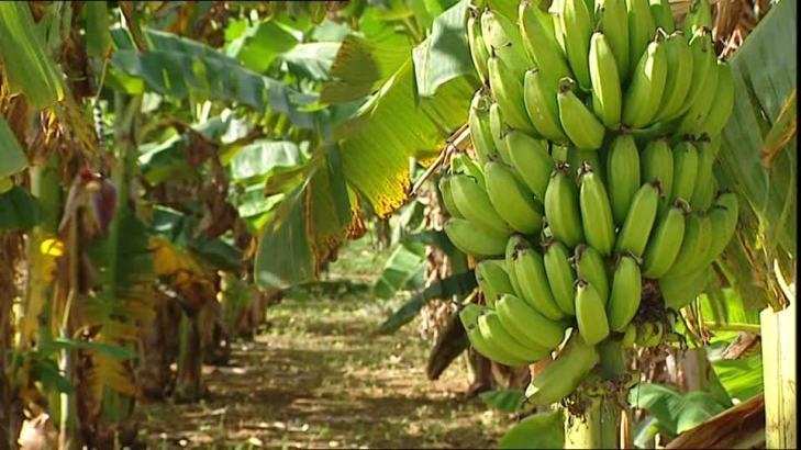 Pridepad est issu des fibres de bananiers