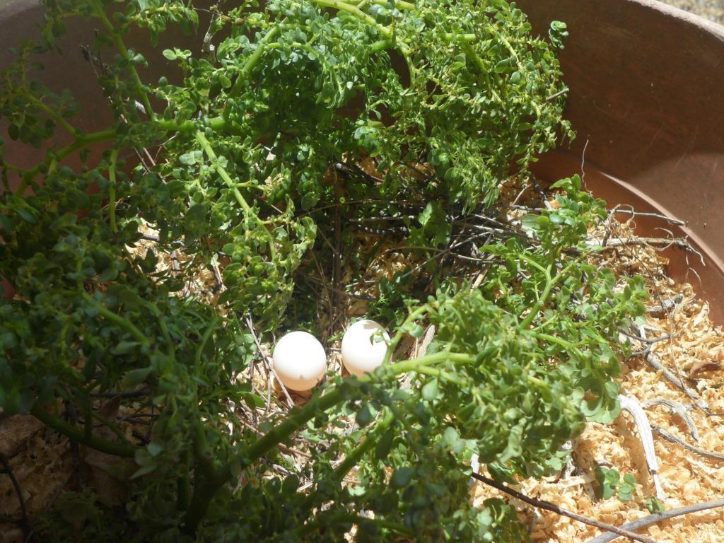 Turtle Dove eggs