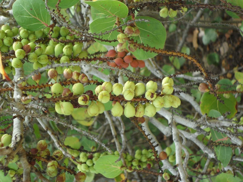 Oh No! The sea grapes are not ripe yet, Katouche Forest, Anguilla