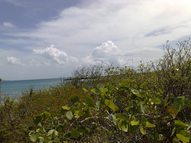 Sea Grape trees in Anguilla by the beach