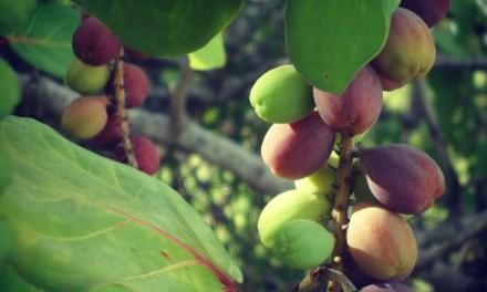 Sea Grapes in Anguilla!