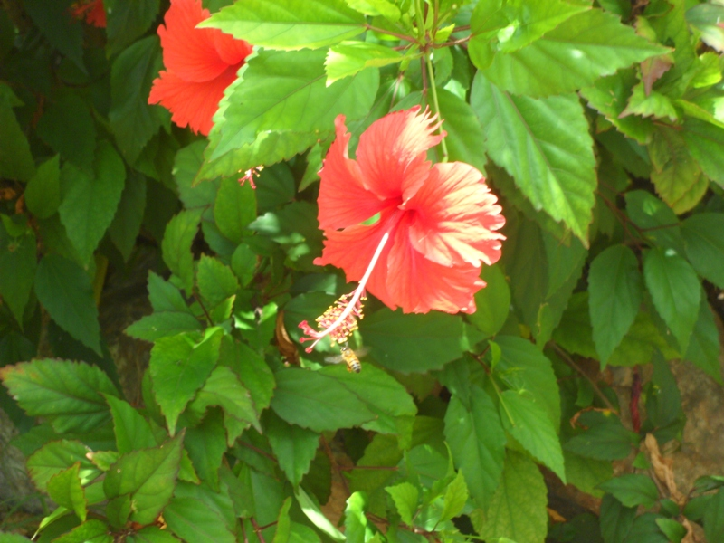 Hibiscus and its best friend, Anguilla