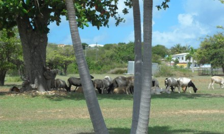 Goat or Sheep Crossing the Road in Anguilla