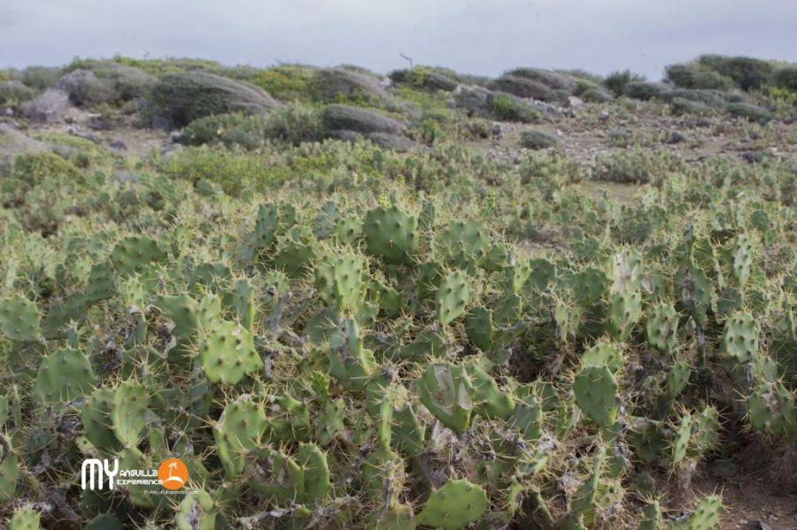 Cactus and prickly pear at Dog Island
