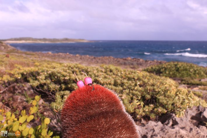 Little pink cactus popes at Windward Point Anguilla