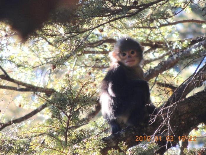 An infant Myanmar snub-nosed monkey. (Shaohua Dong / Flora and Fauna International)