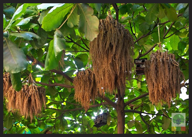 Wheat bunch for birds in Myanmar Streets_5