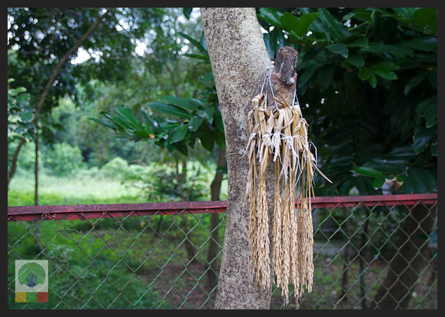 Wheat bunch for birds in Myanmar Streets_7