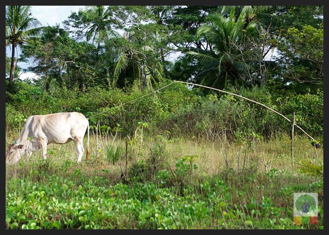 Bamboo Cane and Cow - Myanmar (Burma)