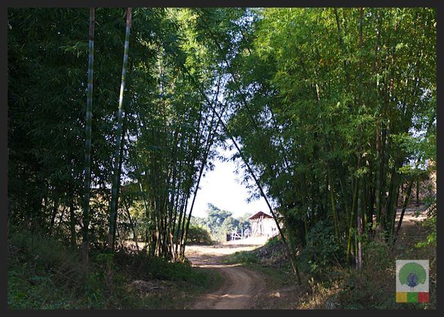 Bamboo forest - Inle Lake - Myanmar (Burma)
