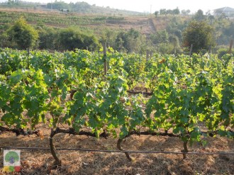 Red Mountain Estate vineyards - Inle Lake - Myanmar Travel Essentials 9