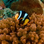 Clownfish - Mergui Archipelago Diving Trip - Myanmar Travel Essentials