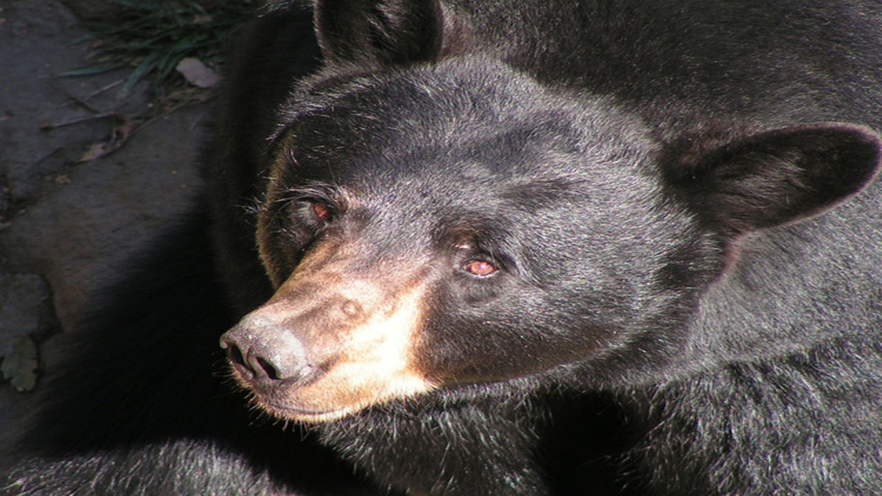 black bear_1497277970168-159532.jpg96917618