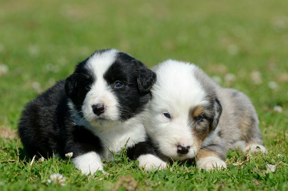 Wenn Sie einen Australian Shepherd Welpen kaufen, dann hat er bereits eine Grundimmunisierung erhalten.