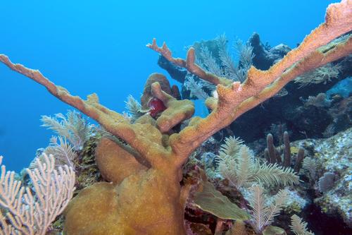Elkhorn Coral, San Salvador Island, Bahamas