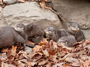 Asian Small Clawed Otter Pups Dennis Dow 3-14