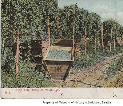 (1905) Hop field, WA/ Photo Museum of History and Industry, Seattle