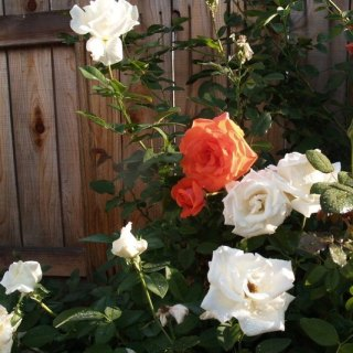 My white roses are in bloom.