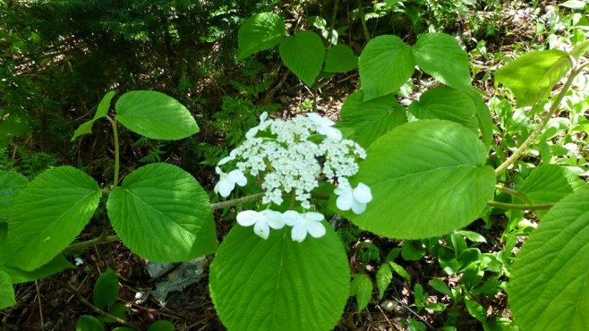 Wild hydrangea - I only saw this above 3500 ft.